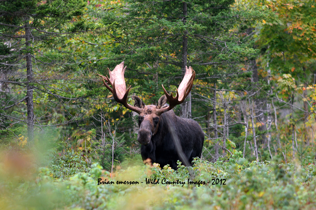 New hampshire vermont moose hunting guide moose for Fishing license vt